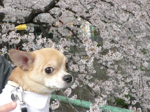宇治川で花見をするさくちん